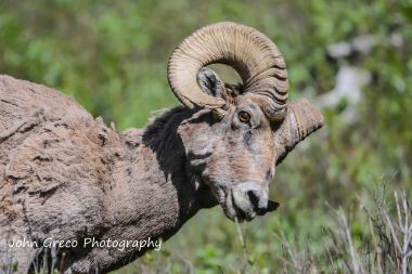 Great Horned Sheep-DSC4820-Post Ver.-001