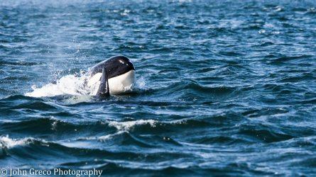 Orca Whale_DSC5267-CW-