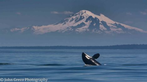 Orca with Mt Baker_DSC5016_CW-5016