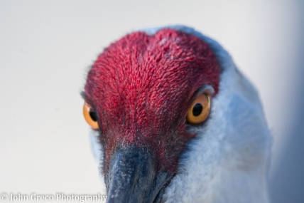 sandhill-crane-upclose-cw-final2-1-of-1