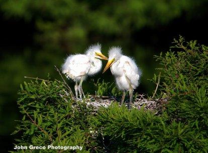 Infants (Egrets) DSC_2152