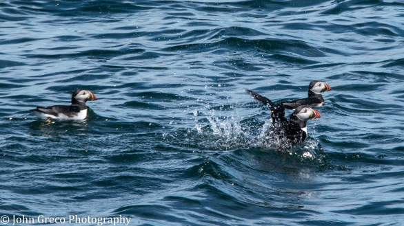 Puffins-Eastern Egg Rock Island _dsc9755-CW (1 of 1)