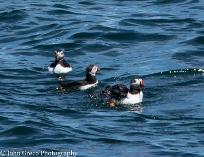 Three Puffins_DSC9748_CW (1 of 1)