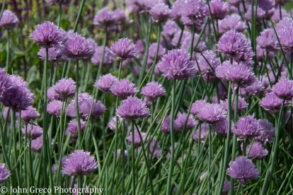 Chives_CW-0164