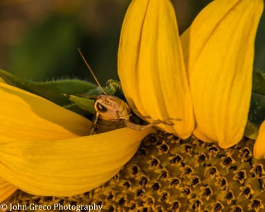 Grasshopper in Sunflower-CW-0686