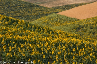 Sunflowers in the Palouse-CW-0696