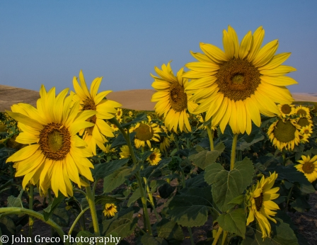 Sunflowers - Palouse-cw-0720