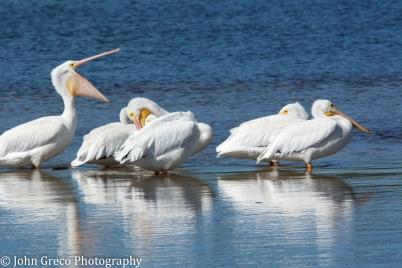 White Pelicans-1490
