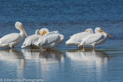 White Pelicans2-1492