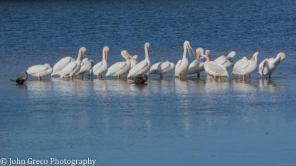 White Pelicans4-1458