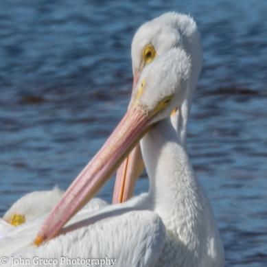 White Pelicans5-1485