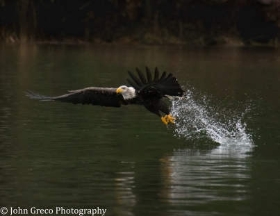 Bald Eagle-CW-2922