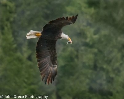 Bald Eagle with Fish-CW-2082