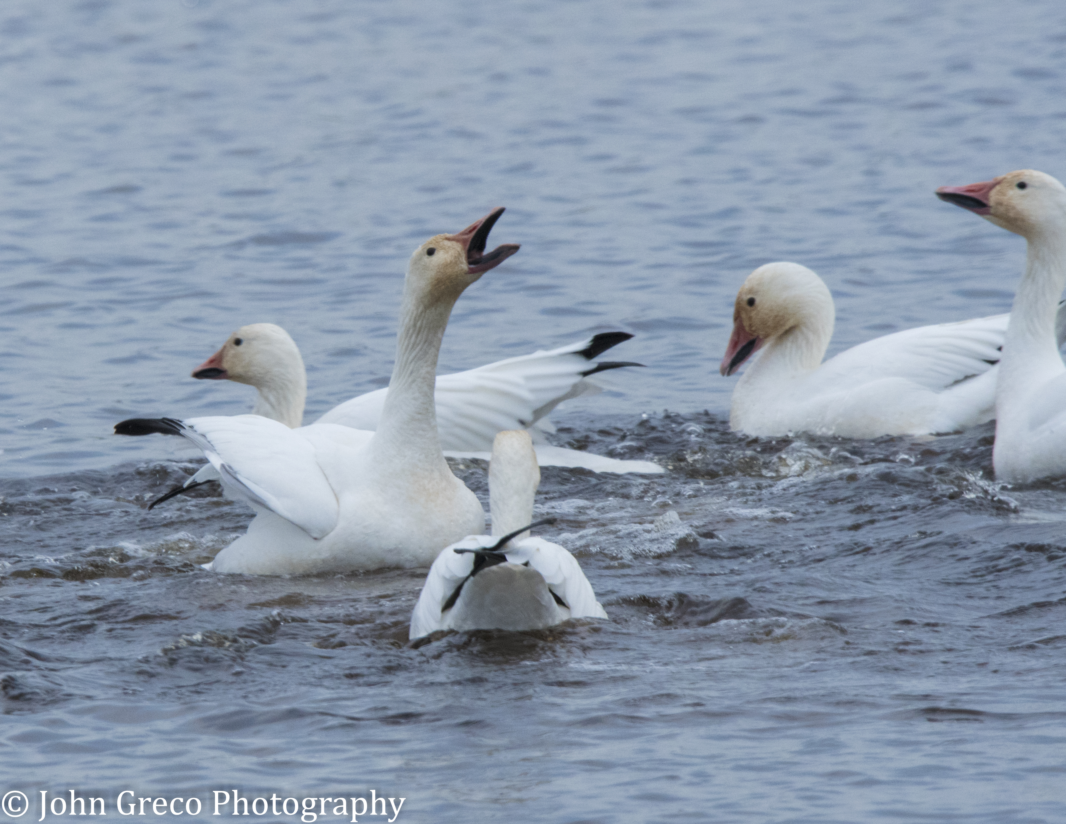 Snow Geese Honking - Bombay Hook CW-0845