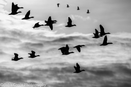 Snow Geese in Flight Bombay Hook NWR B&W - CW-