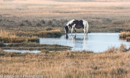 Wild Horse - Chincoteague NWR CW-1126