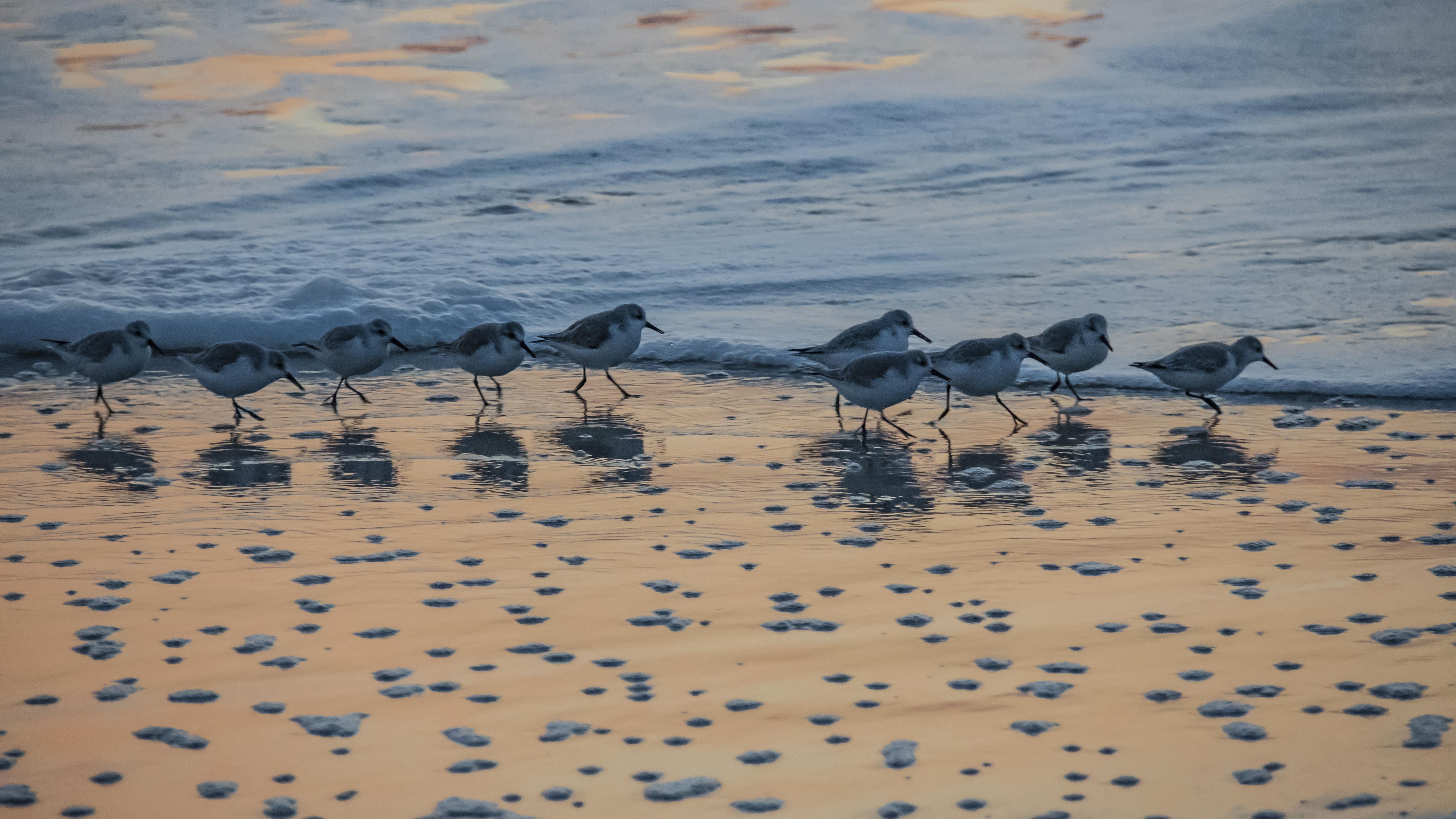 shorebird - chicoteague nwr -0964