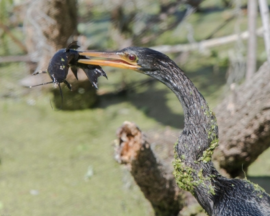 Anhinga and Fish - CW-2196
