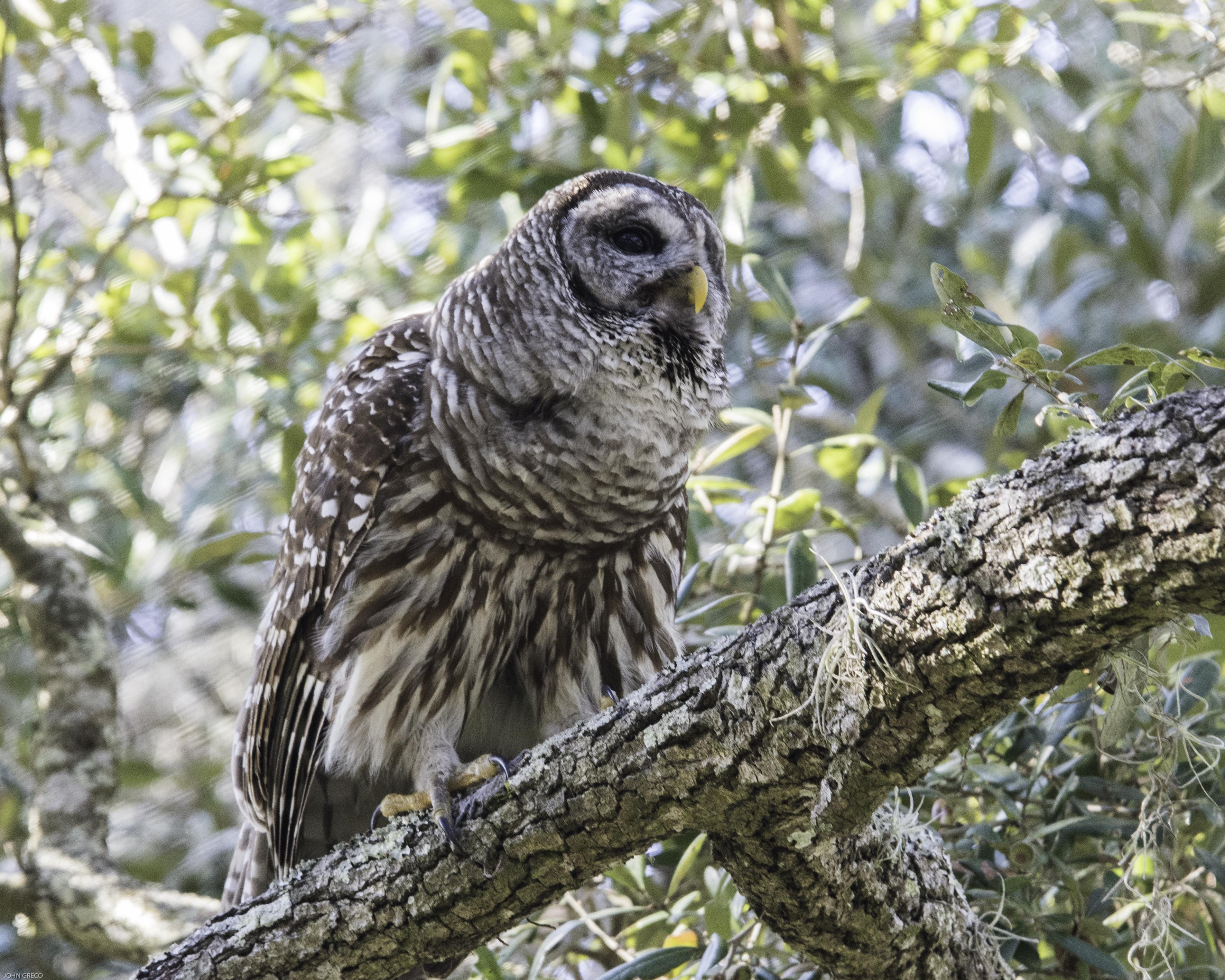 Barred Owl Cirlce B-2332