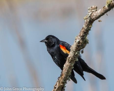 Red Winged Blackbird - CW-3167