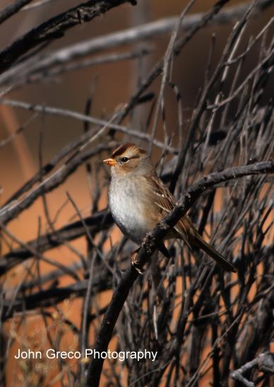 American Tree Sparrow__DSC_1654 cw
