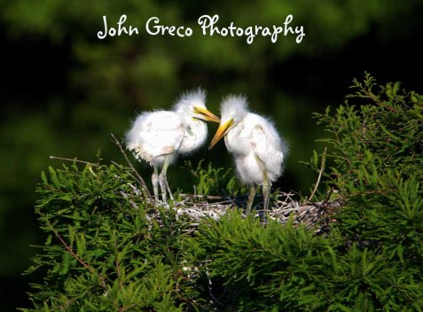 Infants (Egrets) DSC_2152_CR