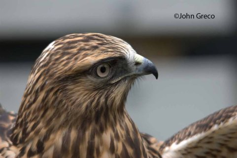 Rough Legged hawk20_C