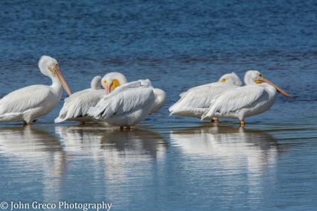 White Pelicans3-1492