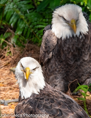 Two Bald Eagles - Audubon Ctr Birds of Prey -4144
