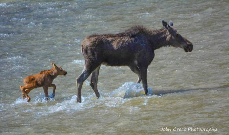 Female Moose (Cow) and her calf-CR-2