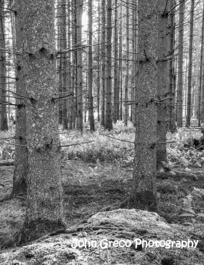 Vermont Trees CW