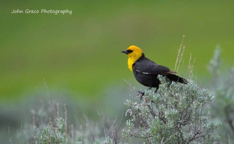Yellow Headed Black Bird-Final-002-5